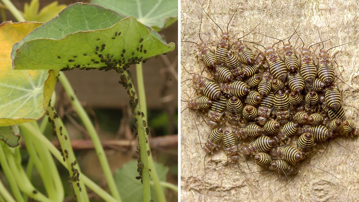 aphids vs barklice