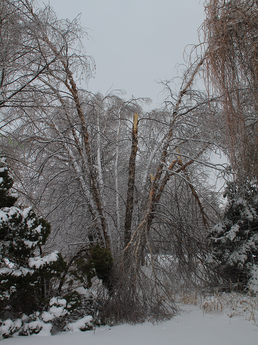 river birch snapped under weight of snow