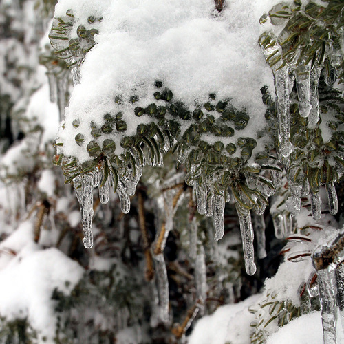 snow and ice on a spruce tree