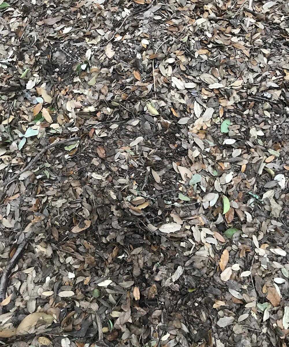 live oak litter