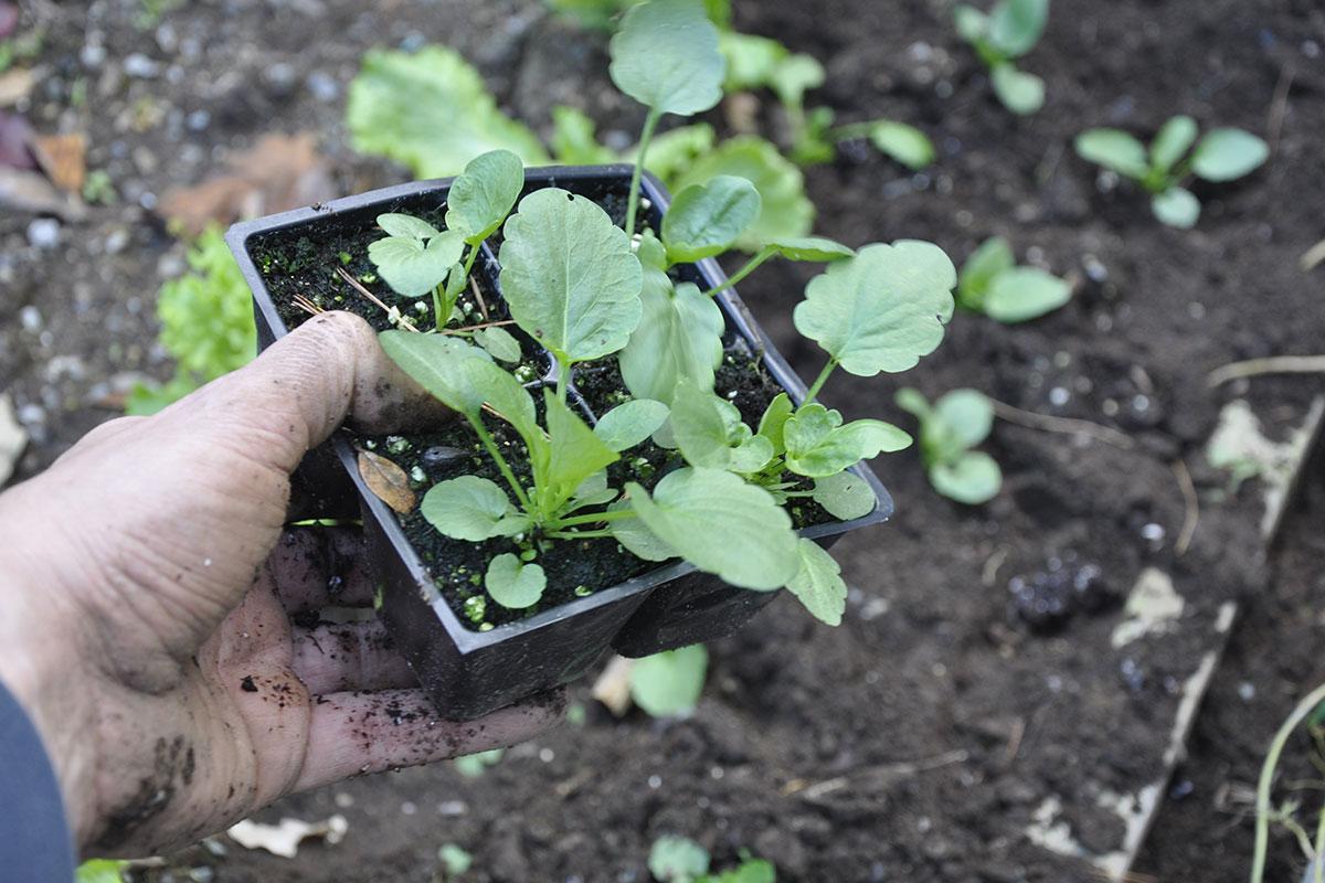 pansy seedlings