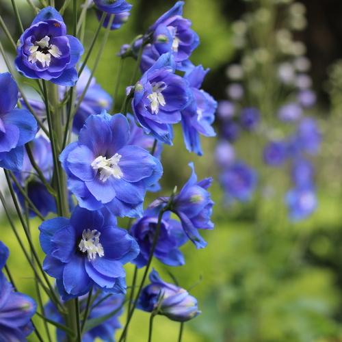 Rich blue delphinium flowers