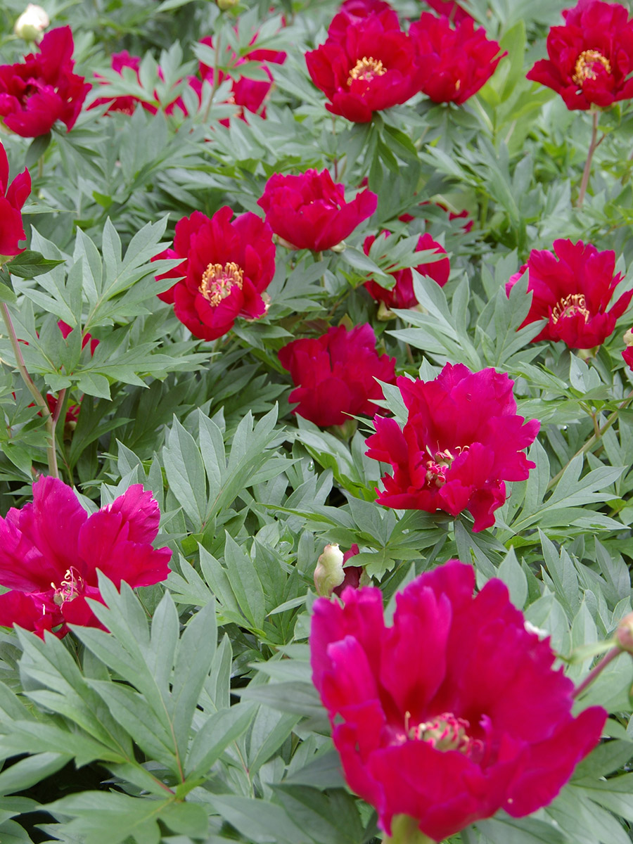 swath of Scarlet Heaven peonies