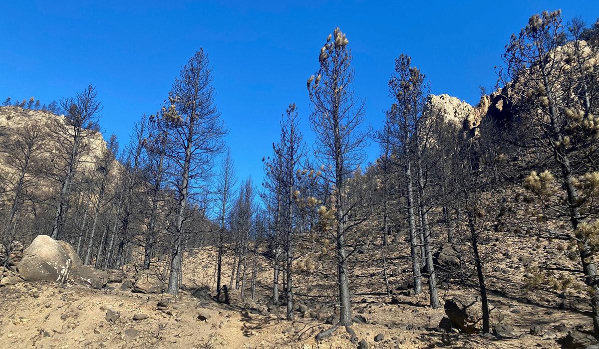 burned conifers