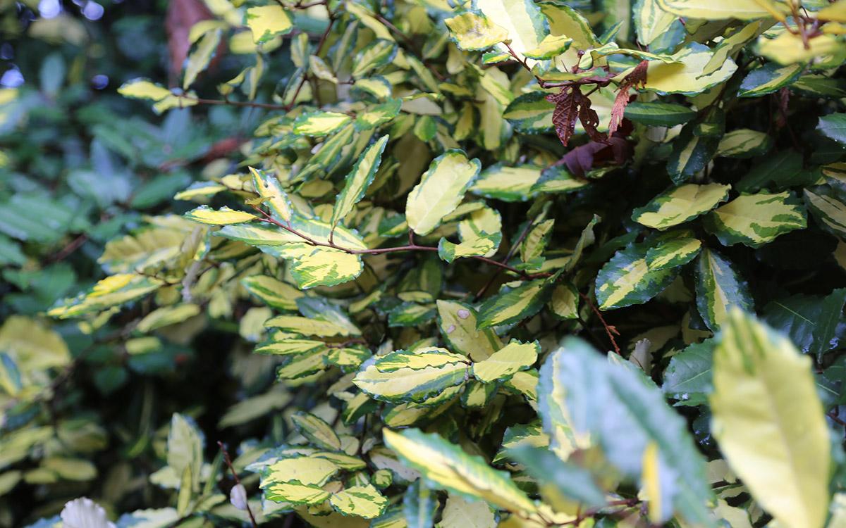 Maculata thorny eleagnus