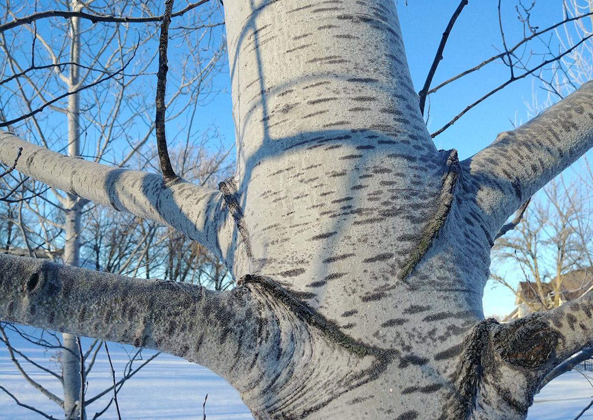 Prairie Gold quaking aspen bark