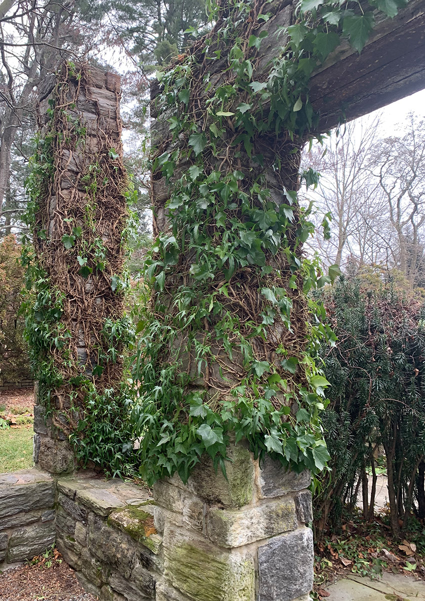 English ivy on a pillar in winter