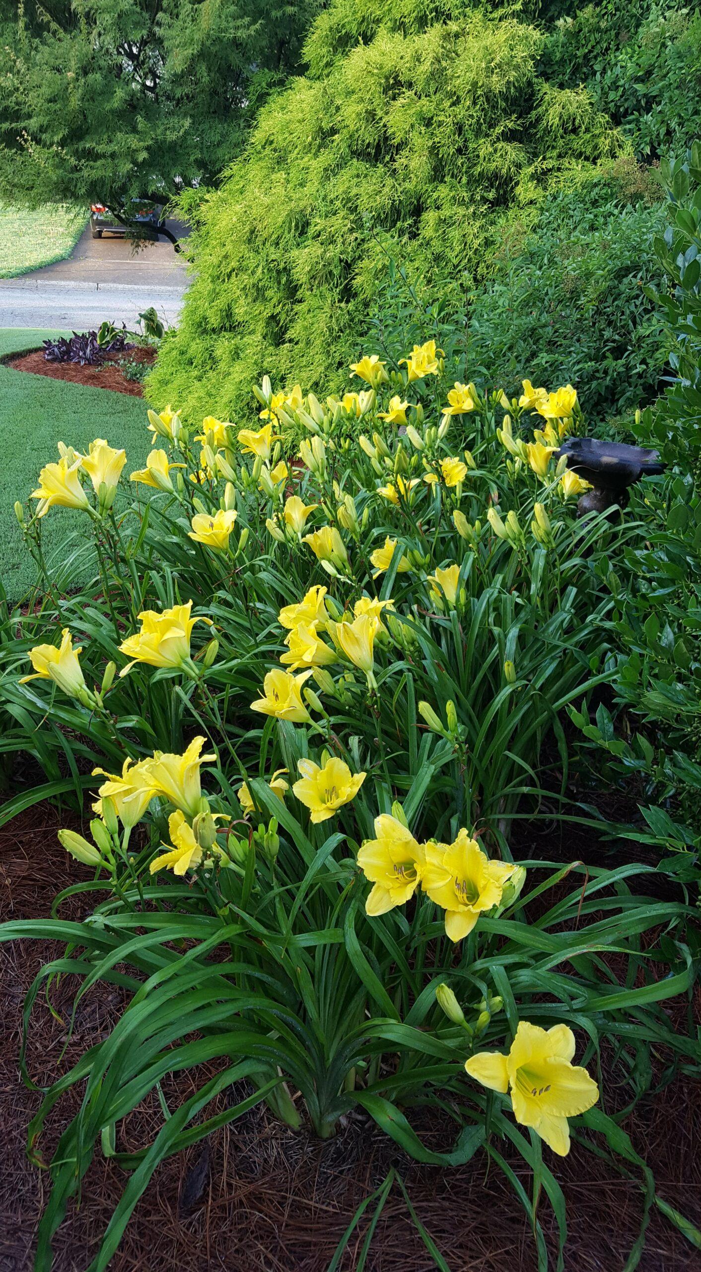 pale yellow daylilies