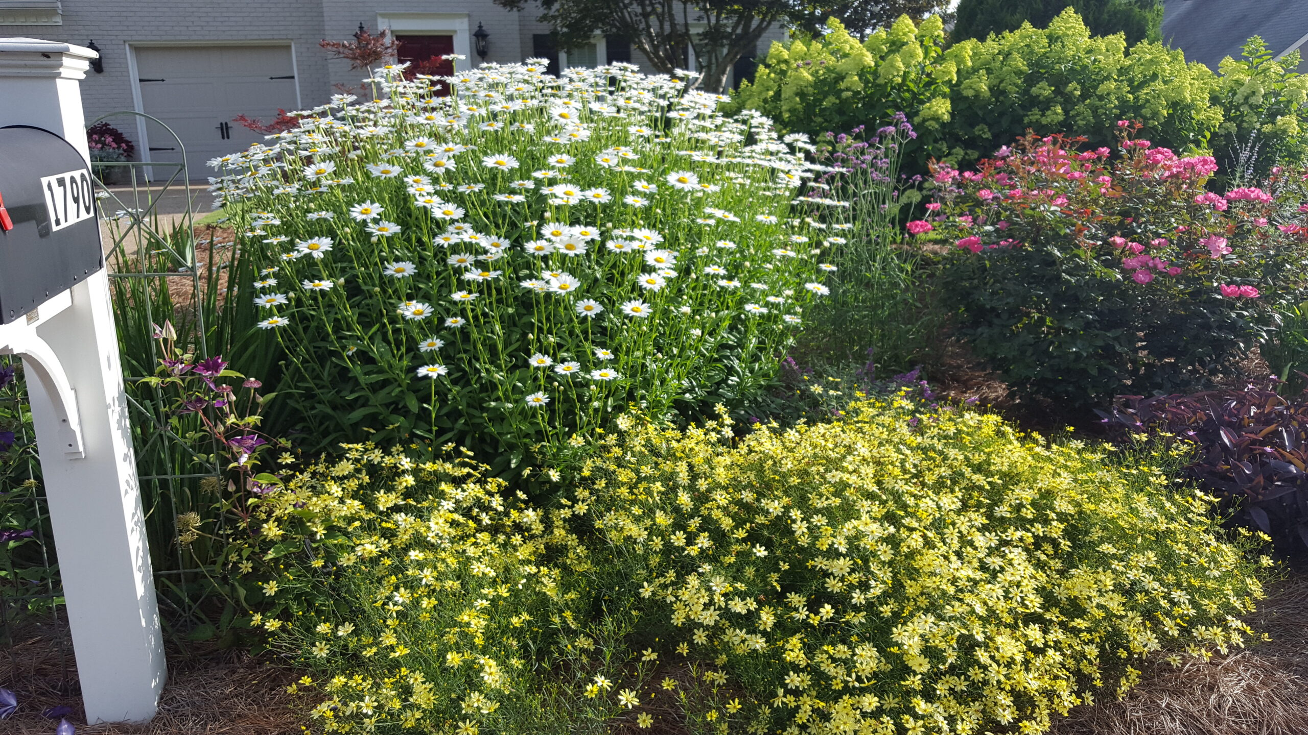 White and yellow daisies growing together