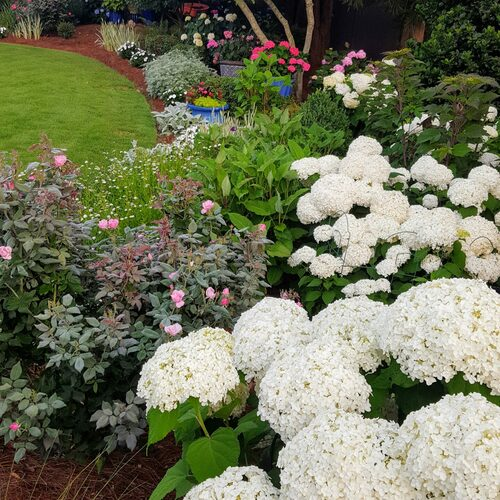 Large heads of white, round hydrangea flowers