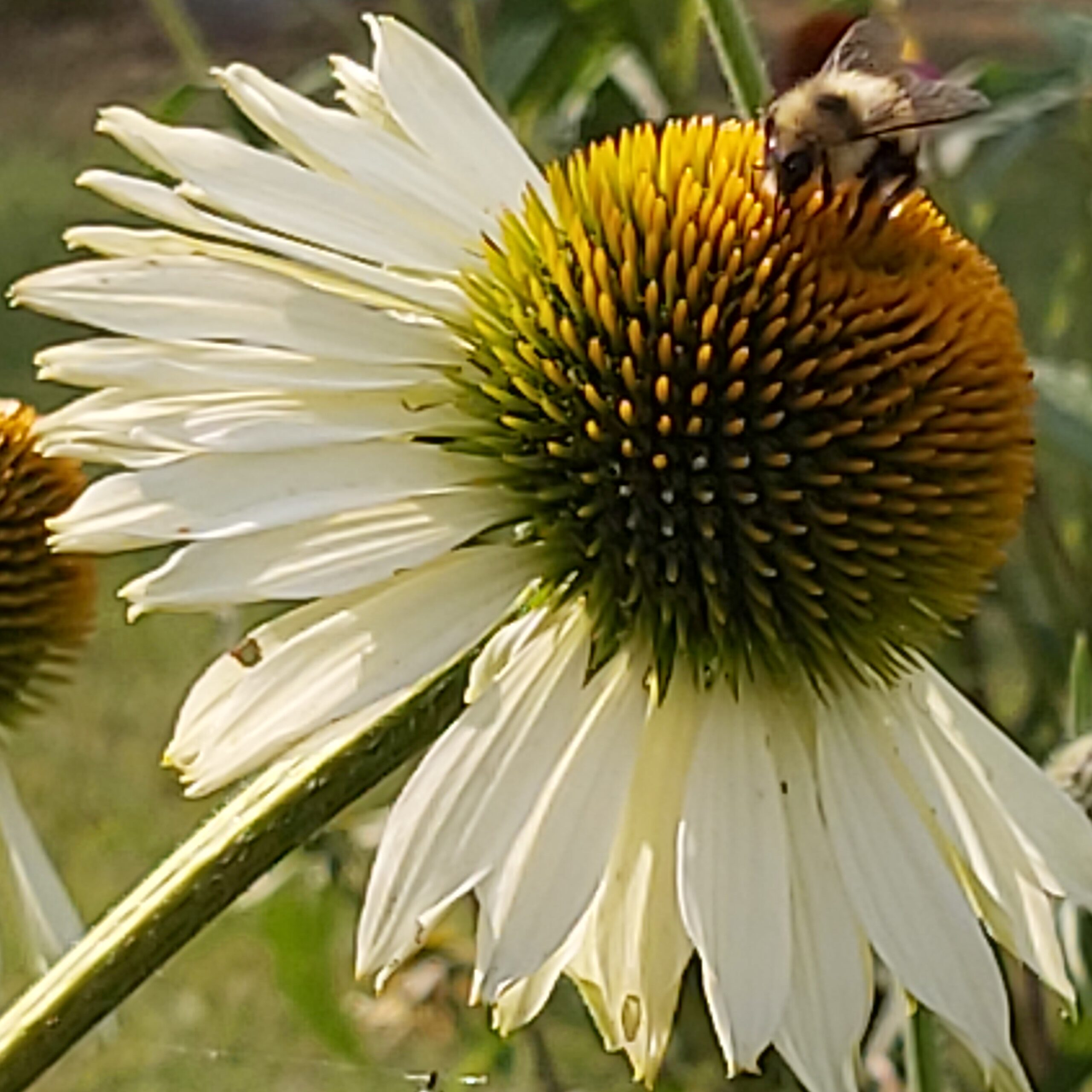 Bee on a white coneflower