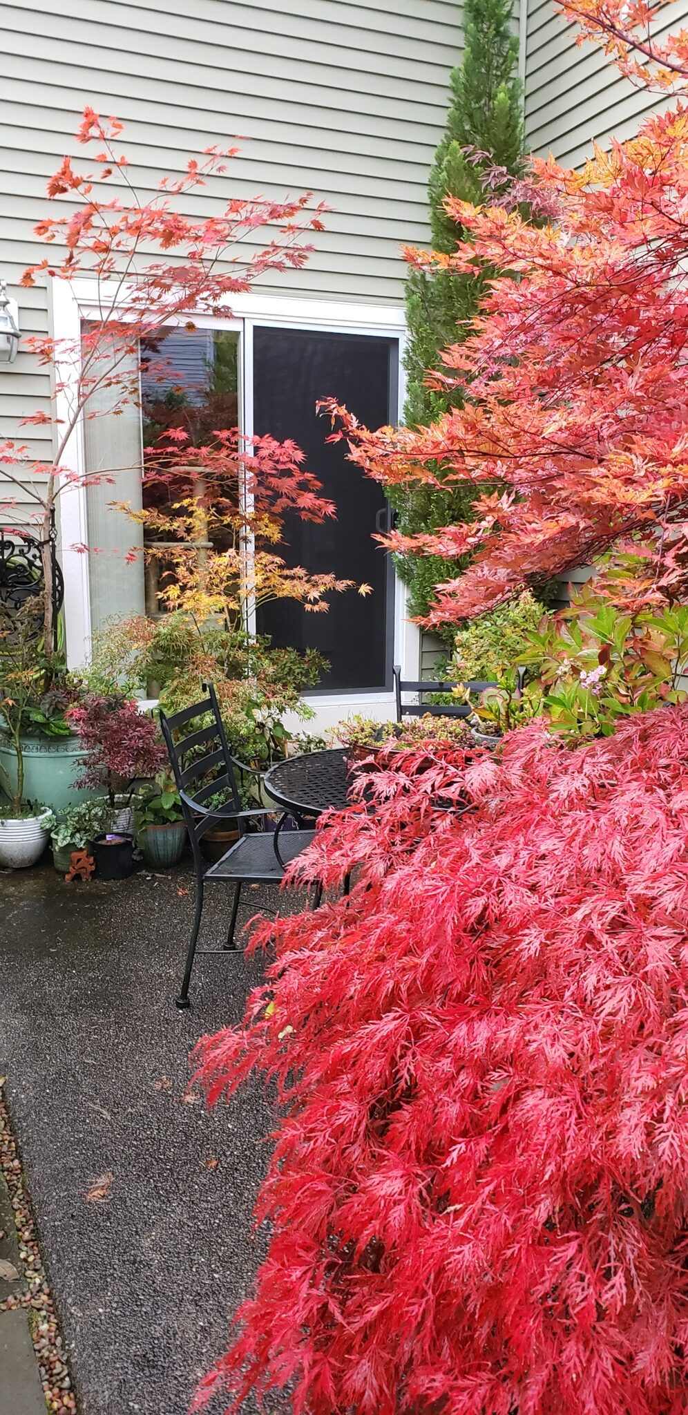 Japanese maples around a small seating area
