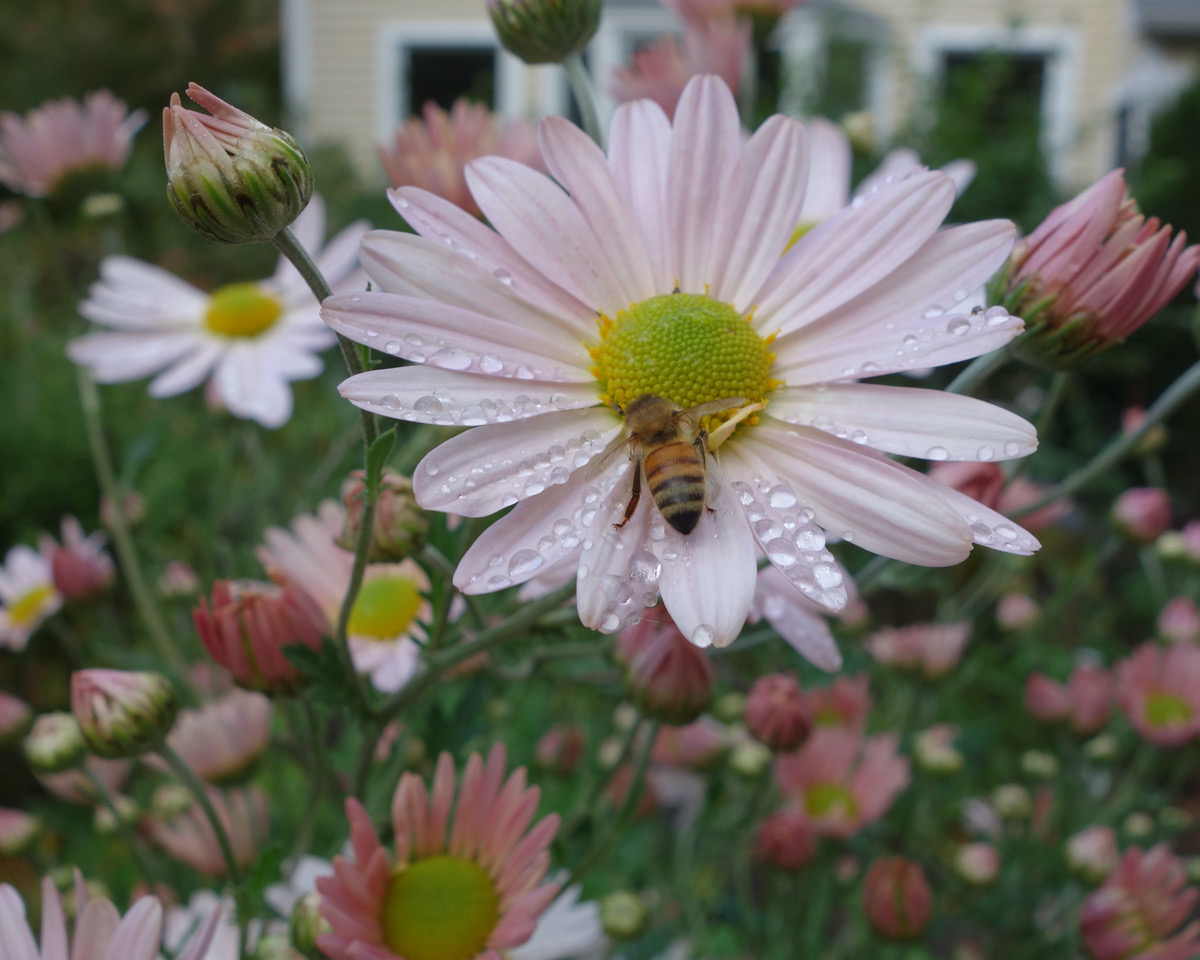 bee on a pink daisy