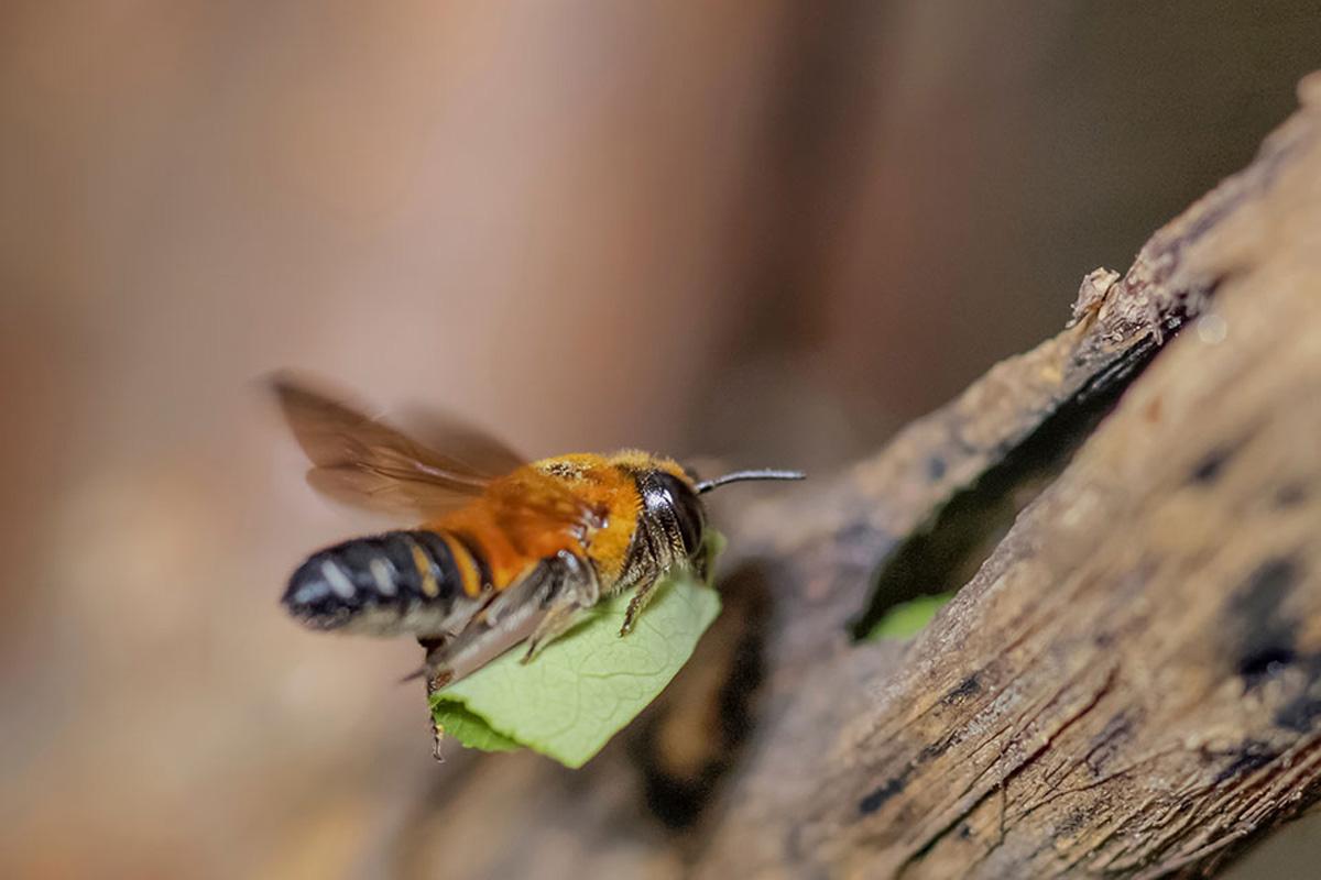 leaf cutter bee carrying leaf