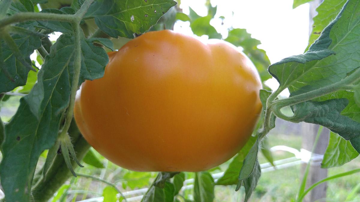 Chefs Choice Yellow tomato