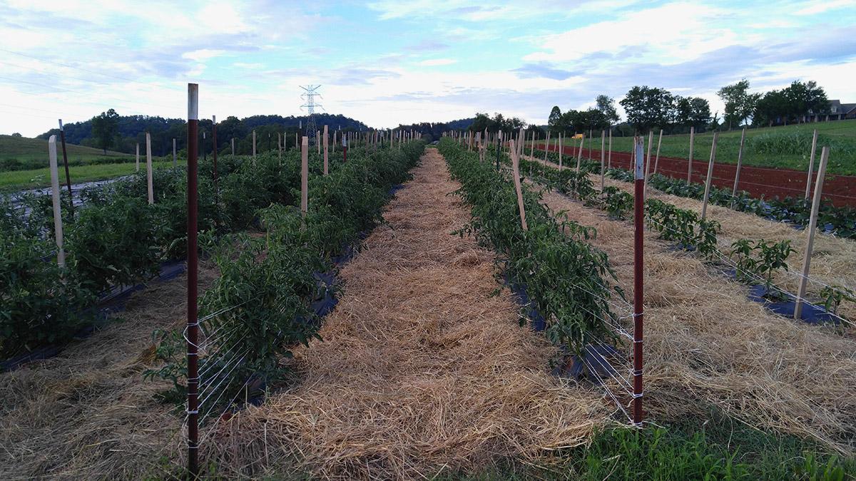 tomato trial garden