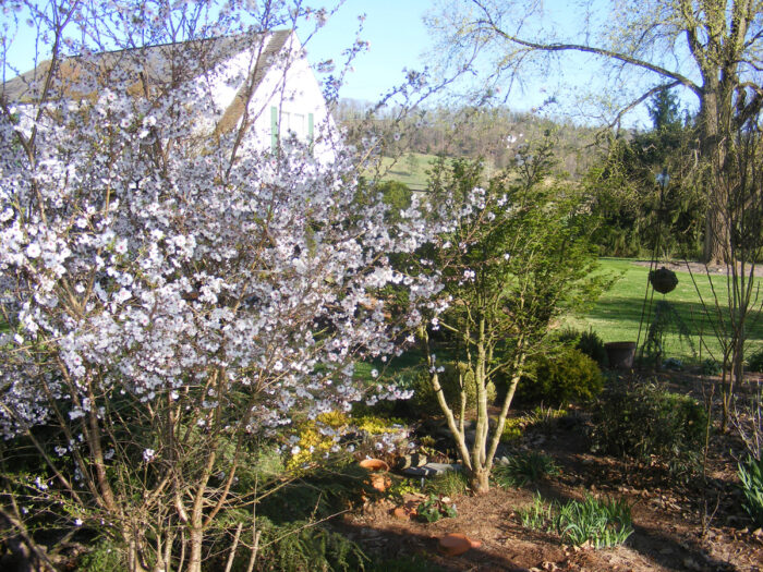 'Hally Jolivette' flowering cherry