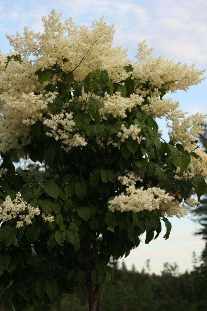 'Summer Snow' Japanese tree lilac
