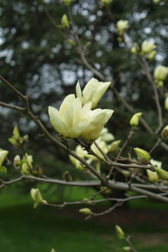 'Elizabeth' magnolia