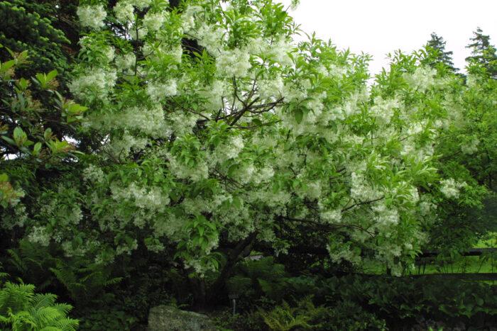 White fringetree