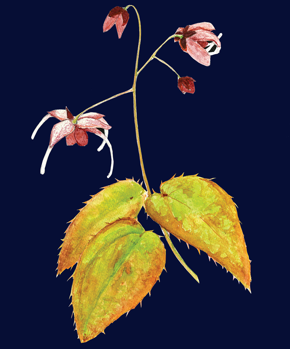 epimedium illustration