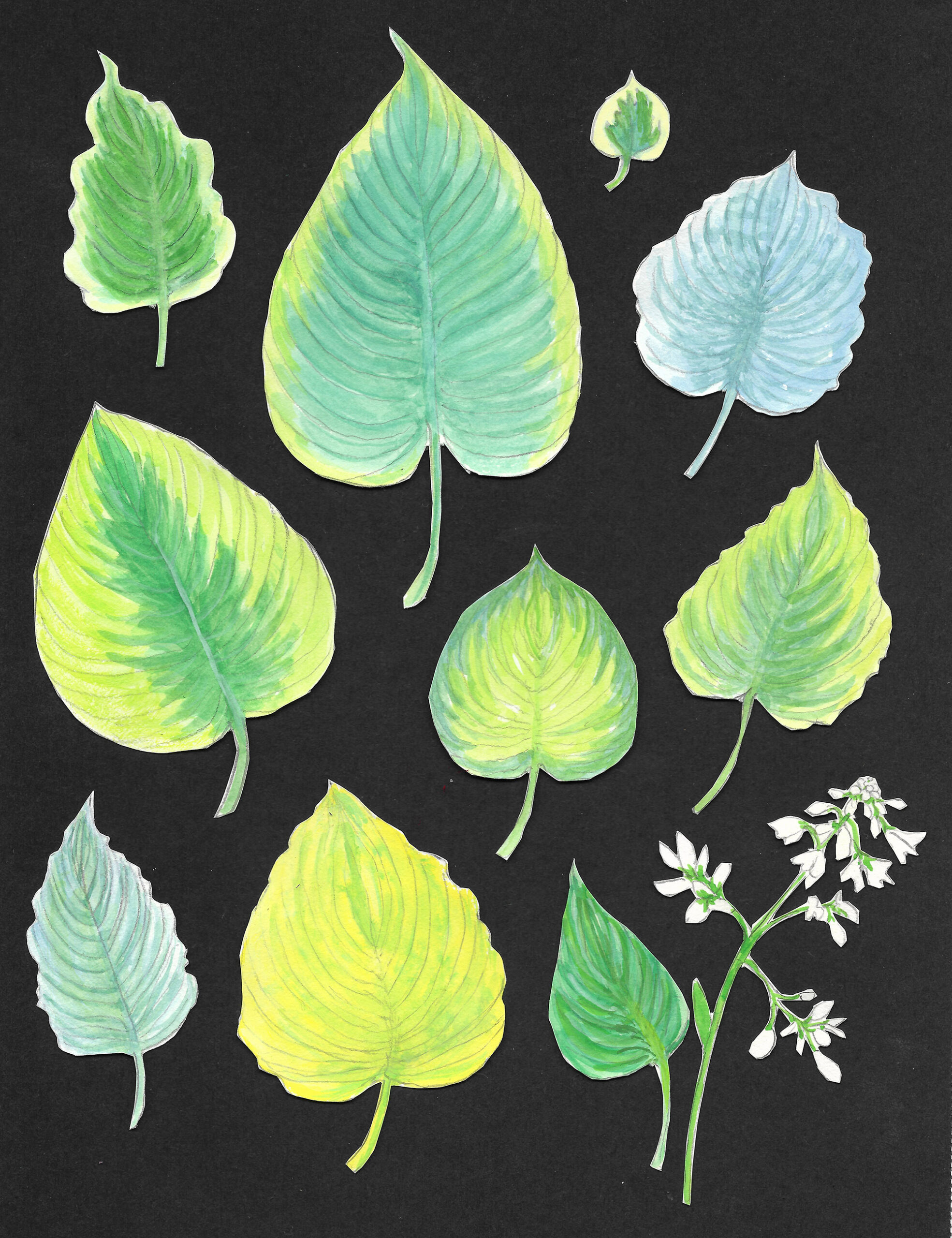 hosta leaves illustrated