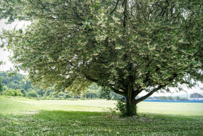 Styrax Japonicus 'Field'