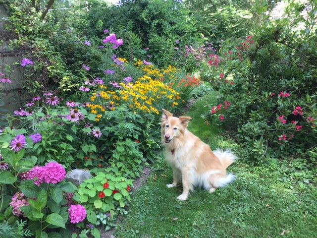 A tan, silky-haired dog sitting in a garden