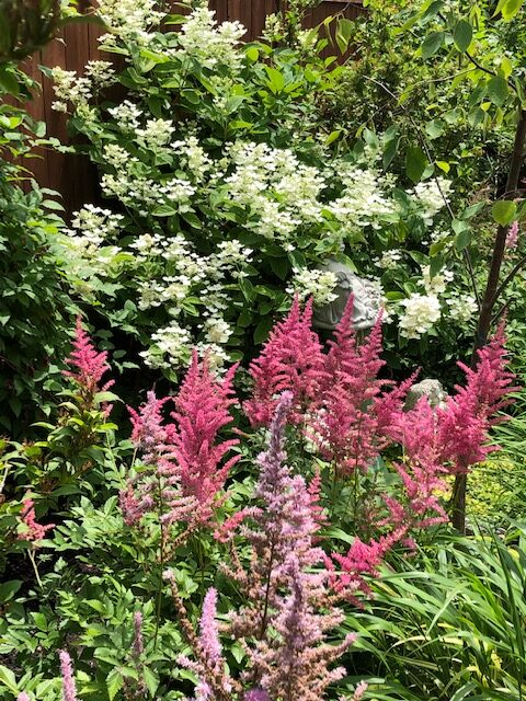 Pink astilbes in front of a hydrangea