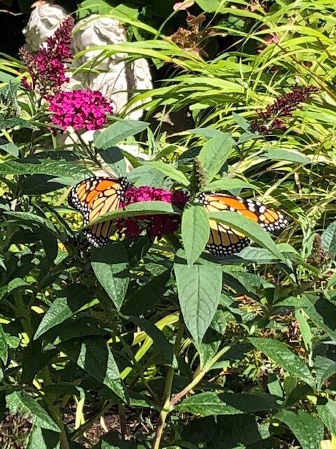 monarchs on a butterfly bush