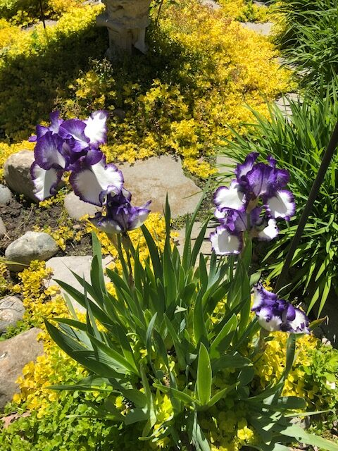 irises surrounded by creeping Jenny