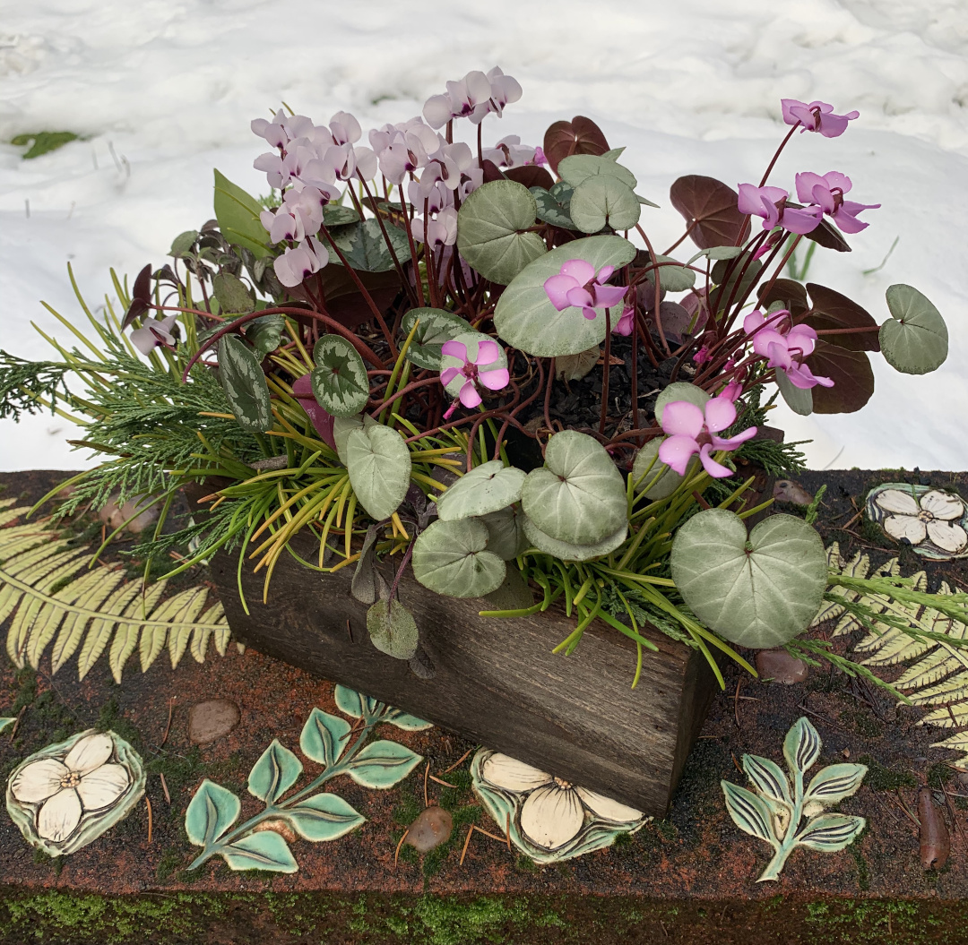 winter cyclamen in a container arrangement