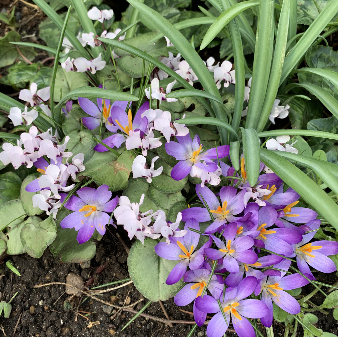 Cyclamen and crocus intwined