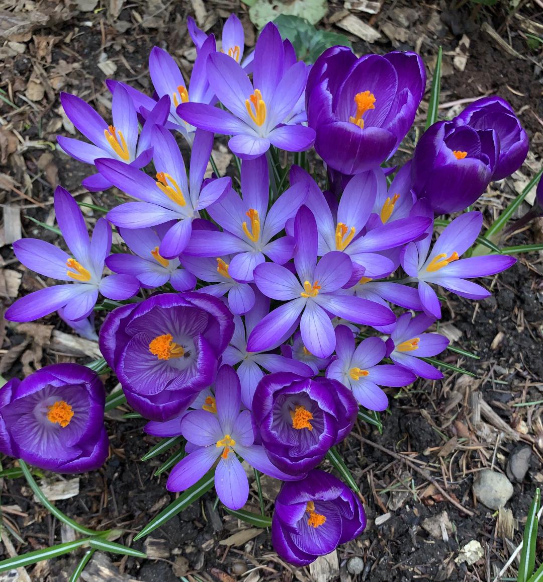 purple flowers blooming in early spring