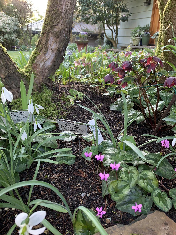 snowdrops, cyclamen, and hellebores growing in the garden