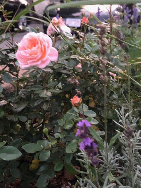 Apricot Drift rose