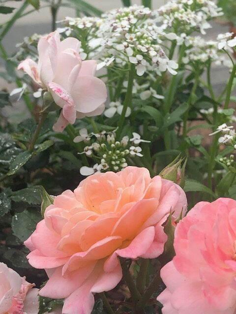 Apricot Drift rose with sweet alyssum behind it