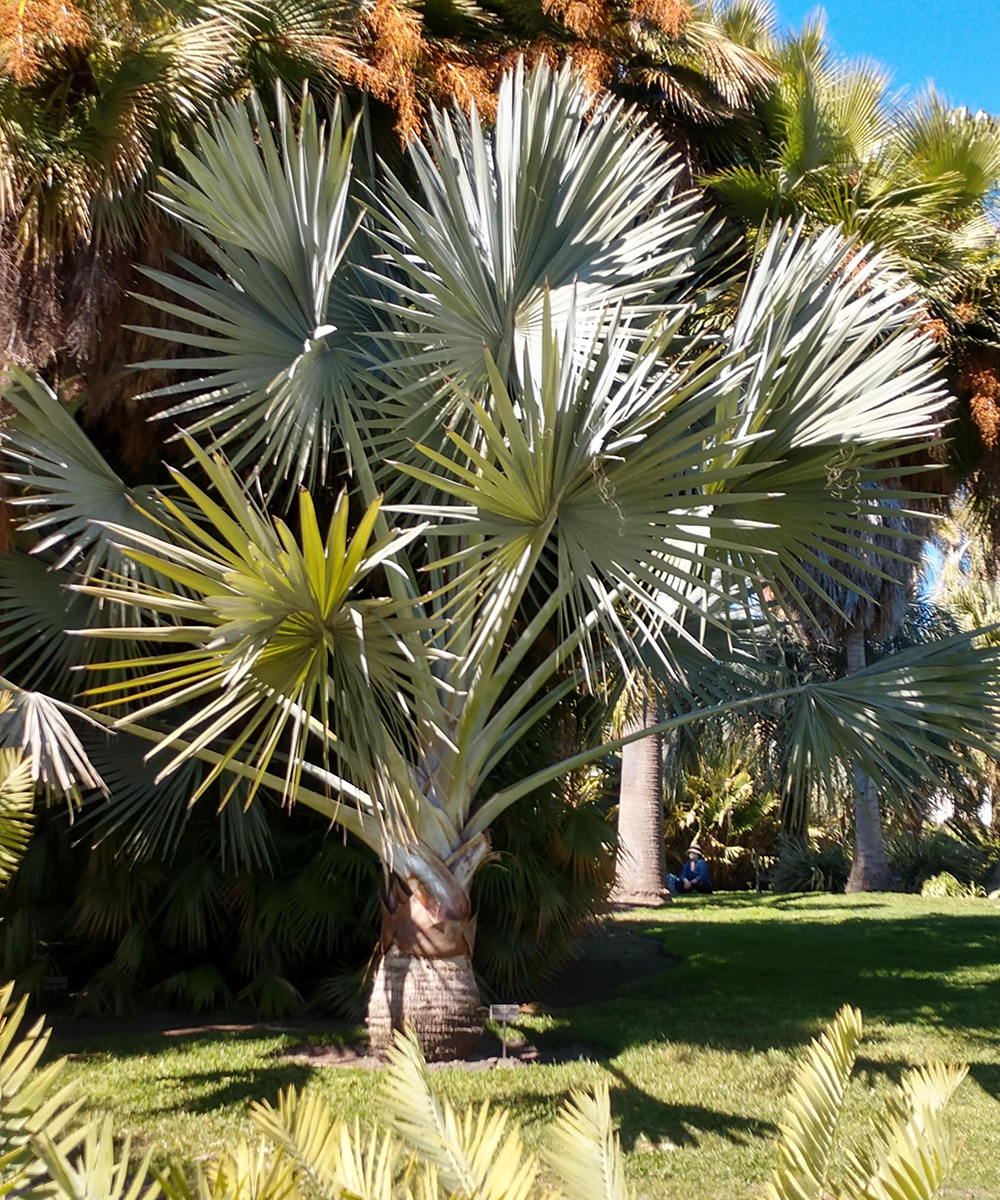 palm with blue and silver foliage
