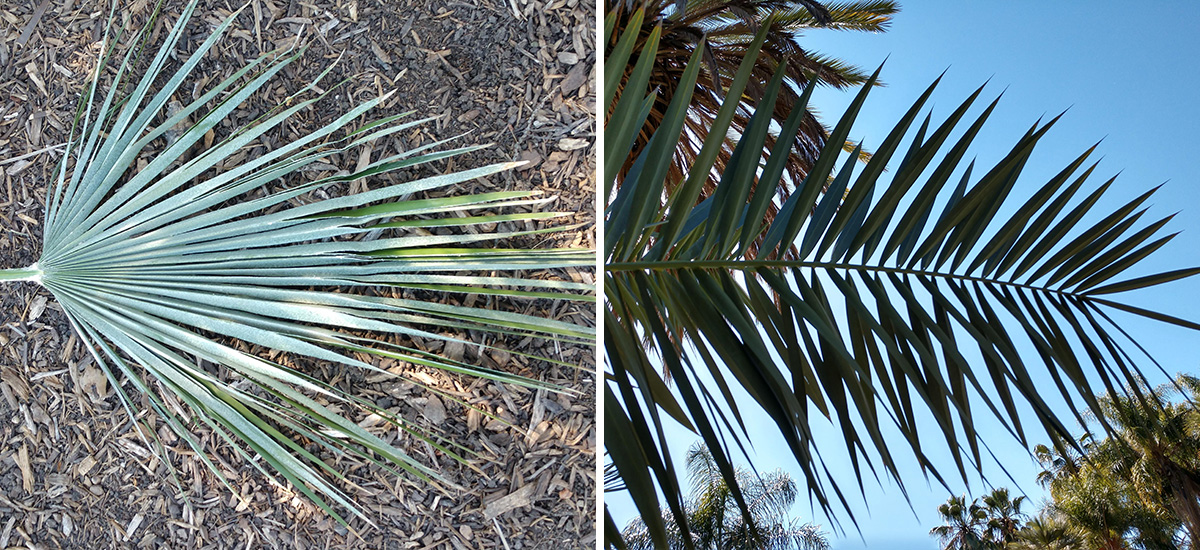 different kinds of palms