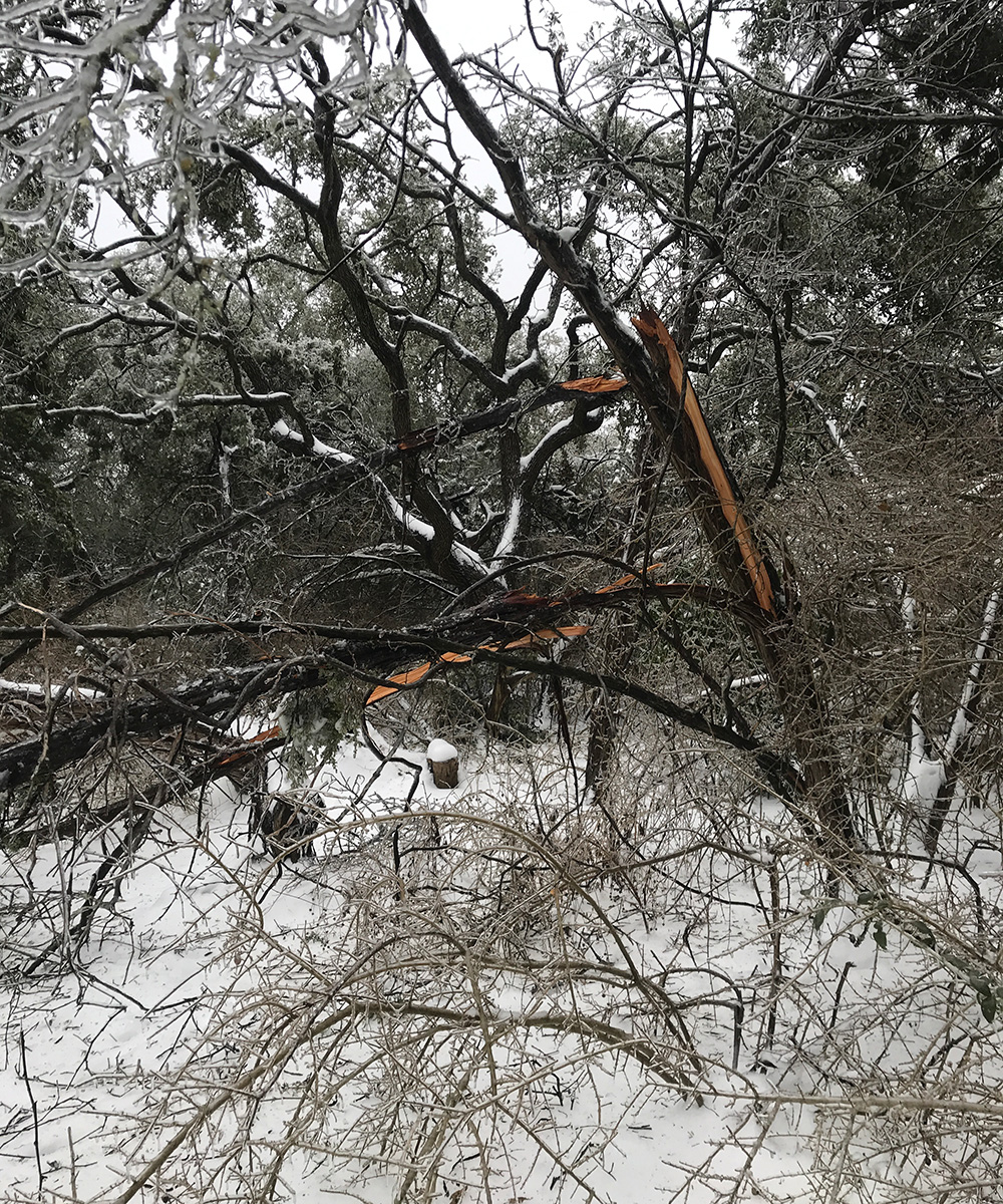 split juniper branch