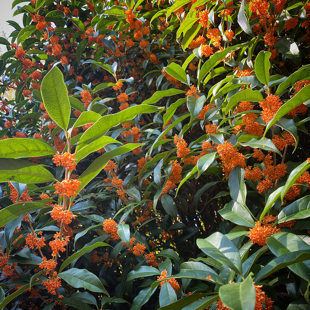fragrant tea olive in bloom