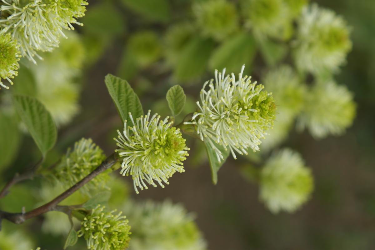 Dwarf fothergilla (Fothergilla gardenii, Zones 4-8)