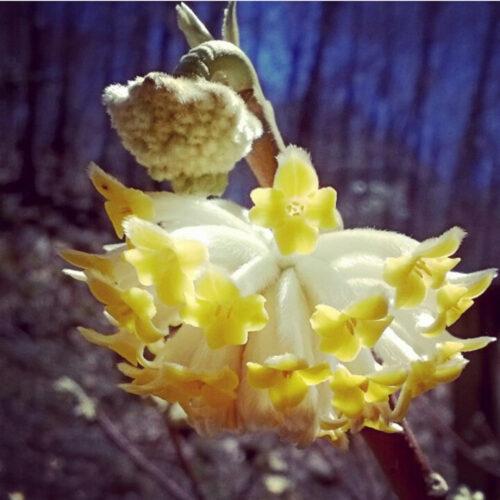 Paperbush flower