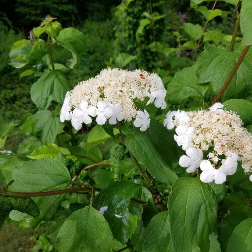 American cranberrybush in flower