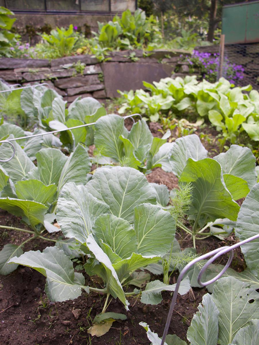 brassicas in a garden