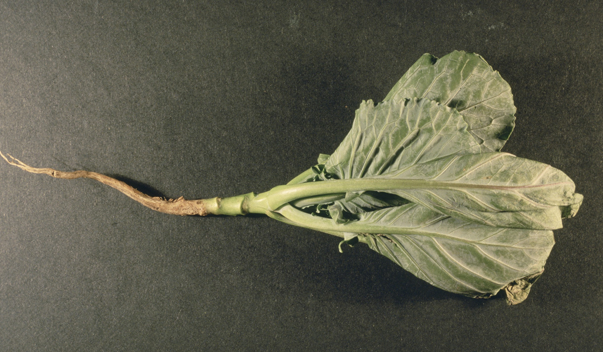 cabbage root fly maggot damage
