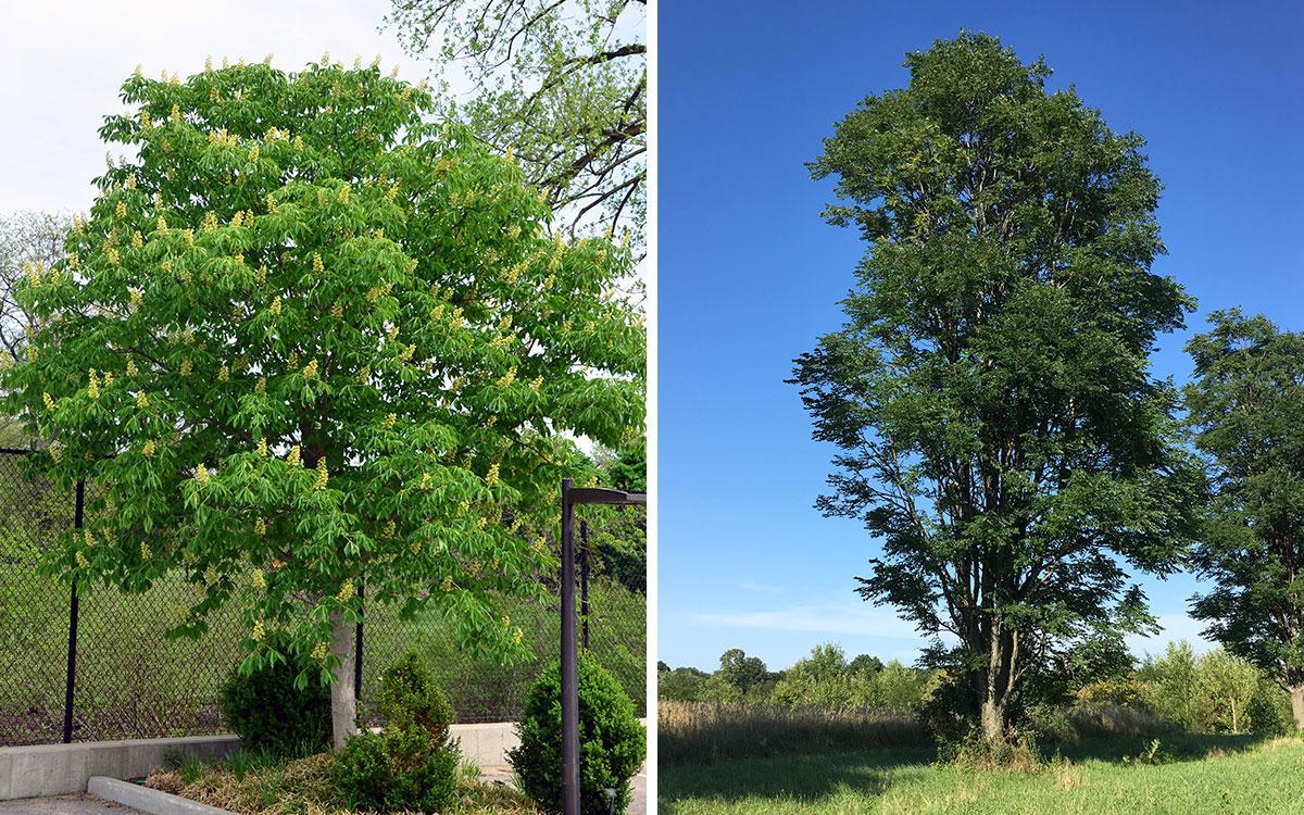 Early Glow Ohio buckeye in spring and summer