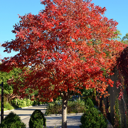 The Best New Trees for the Midwest