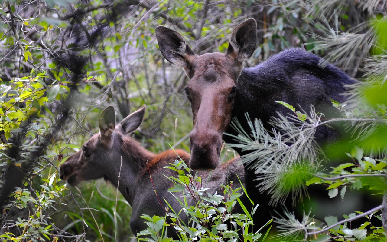 Mom moose and calf surrounded by trees