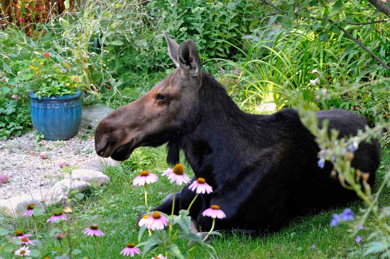 moose resting next to flowers